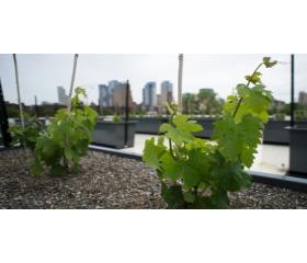 Insolite - Vignobles sur les toits de New-York